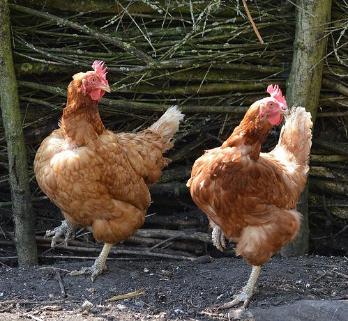 chickens-dancing-for-animal-card-dance-party-lesson-plan.jpg